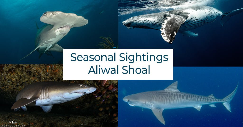Best time to dive Aliwal Shoal
