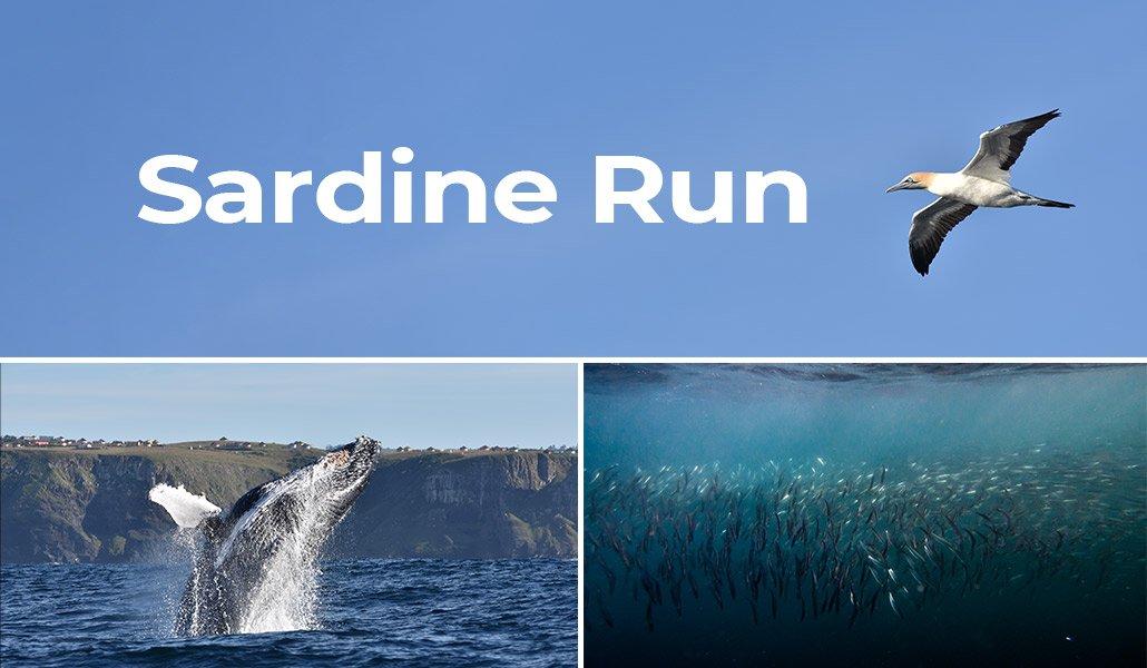 Sardine Run, South Africa