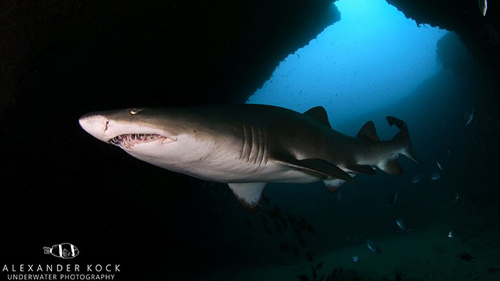 Ragged Tooth Shark in Cathedral, Aliwal Shoal