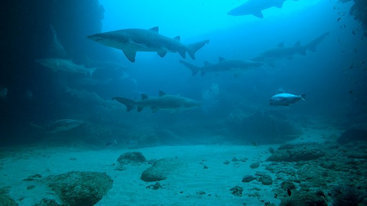 Ragged Tooth Sharks in Cathedral