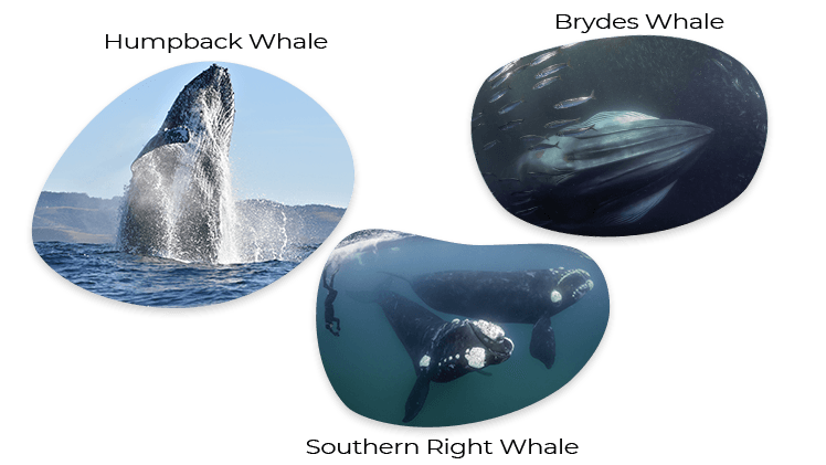 Type of Whales during the Sardine Run