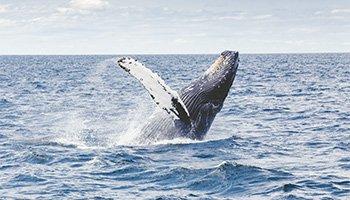 Humpback Whale Breach